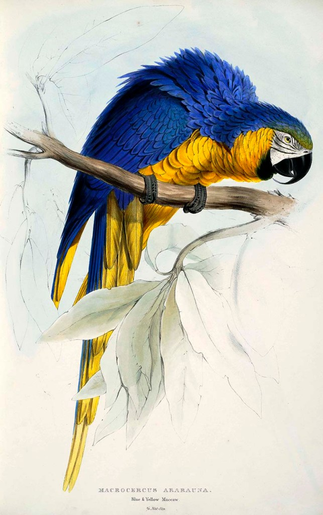 Blue and yellow Macaw free parrot paintings