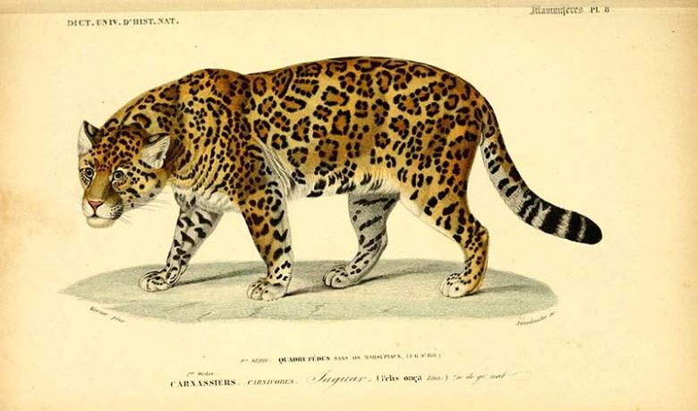 vintage animal prints Jaguar illustration
