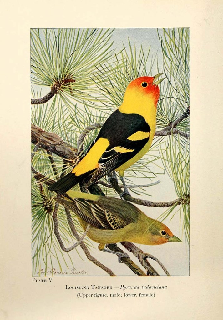 Western Tanager American Songbirds