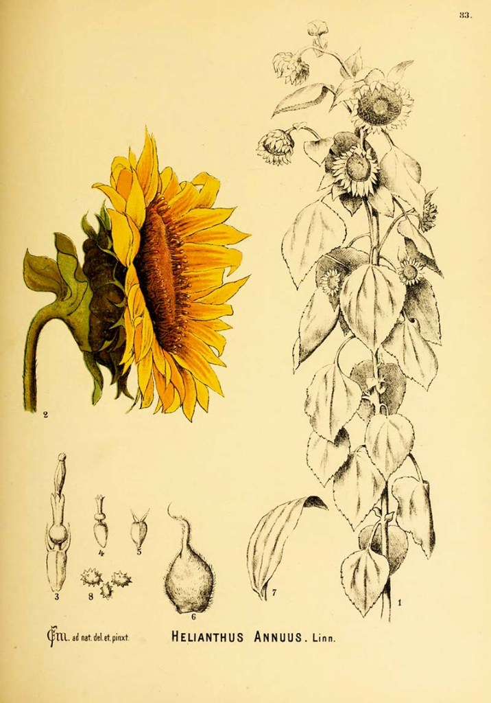 Botanical sunflower illustration