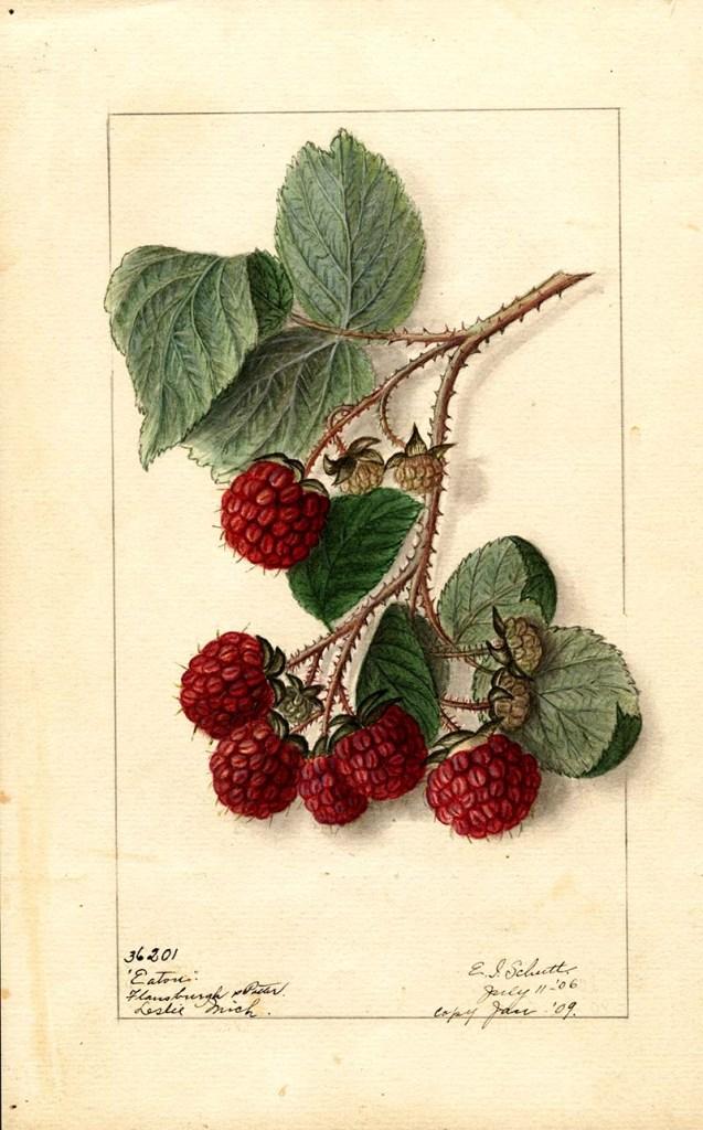 Eaton red raspberries