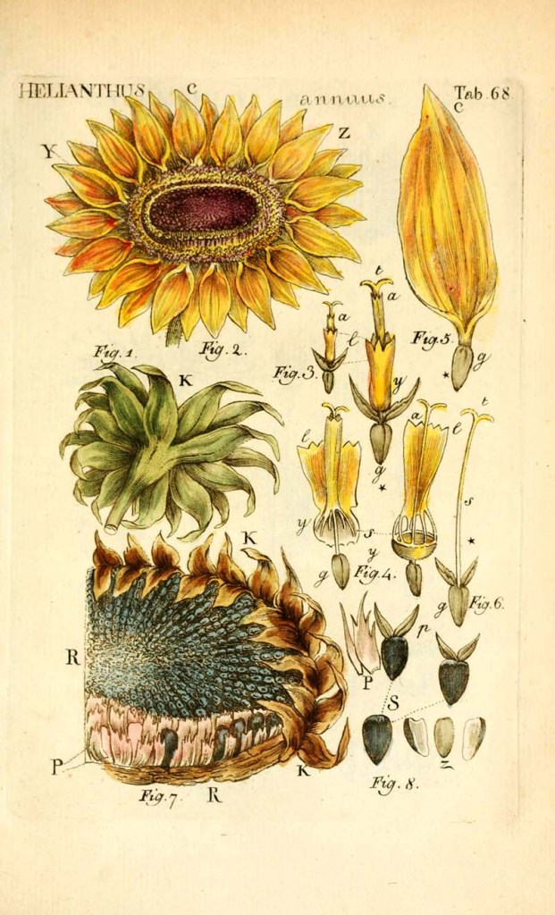 Dissected sunflower