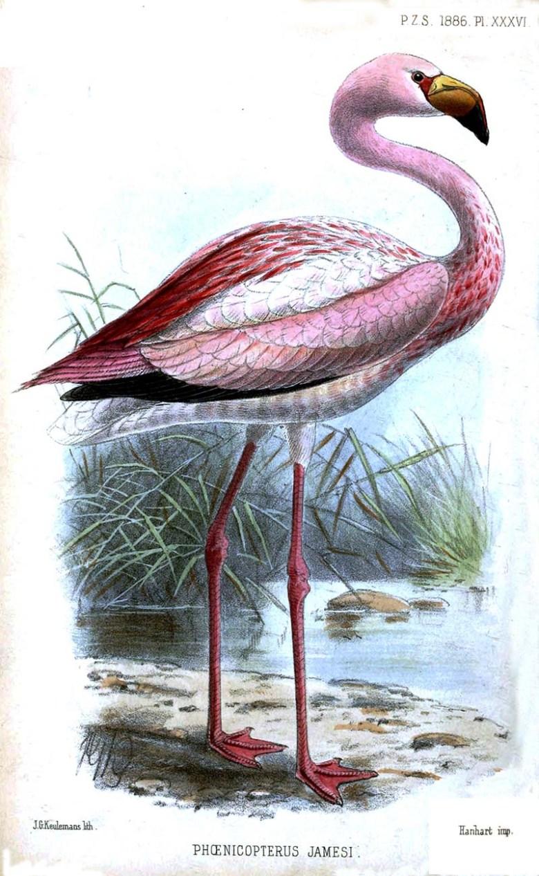 James's Flamingo Illustration