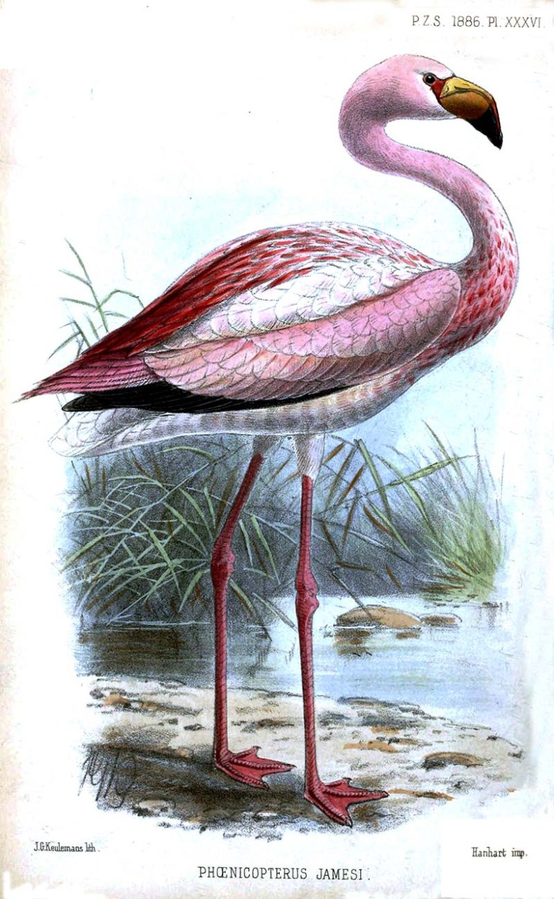 James's Flamingo Illustration