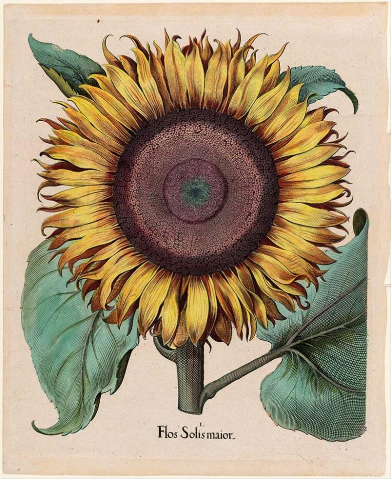 Large sunflower illustration