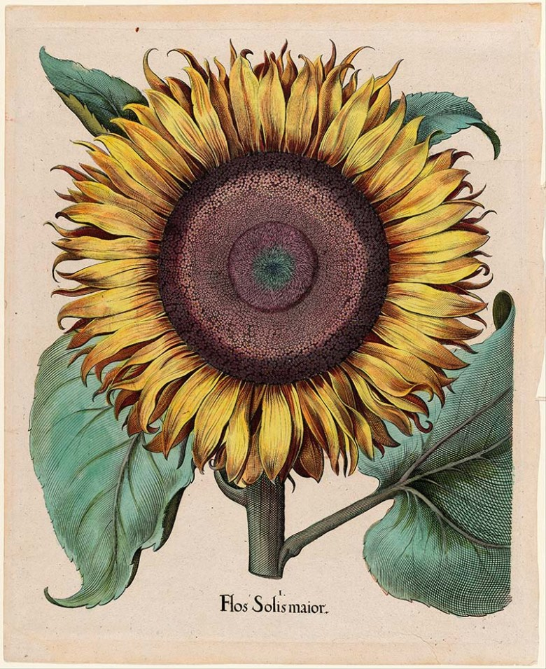 Large sunflower illustration