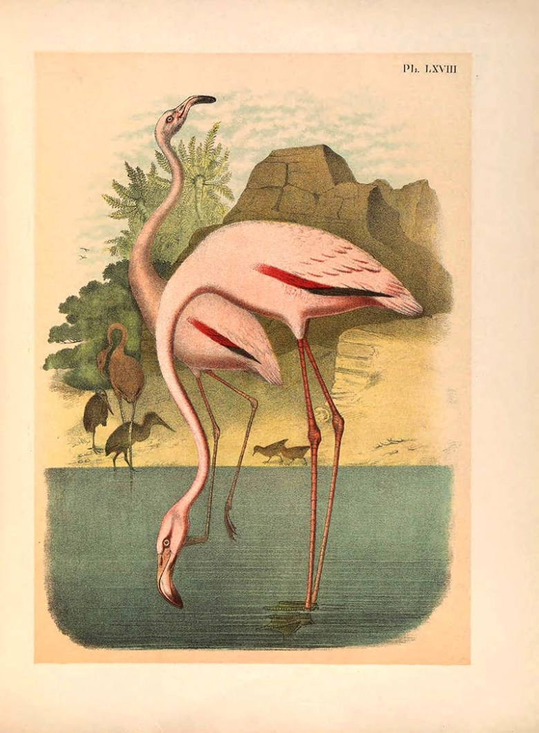 American Flamingo art prints