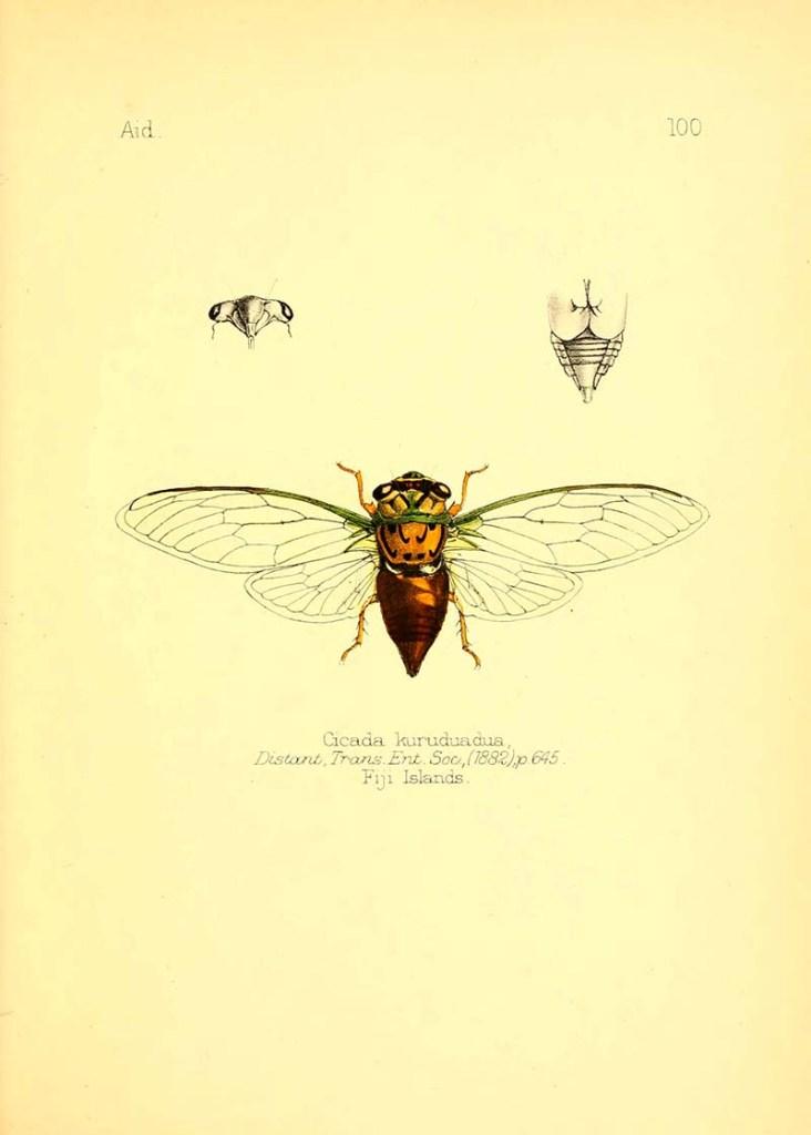 cicada Kurudunua