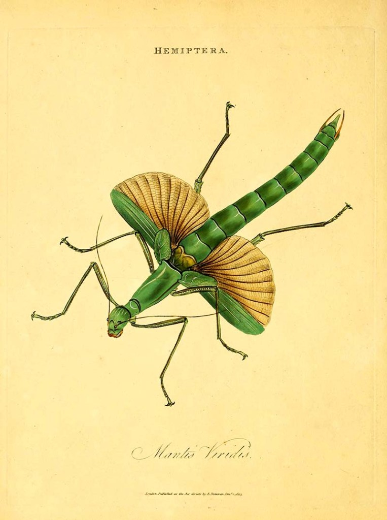 Free vintage insect illustration praying mantis