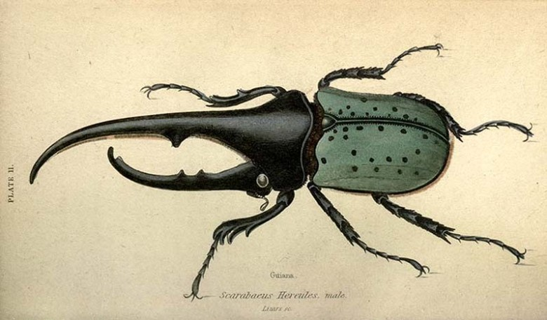 Dynastes Hercules Beetle free insect print
