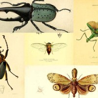 Wonderful Vintage Free Insect Prints To Download