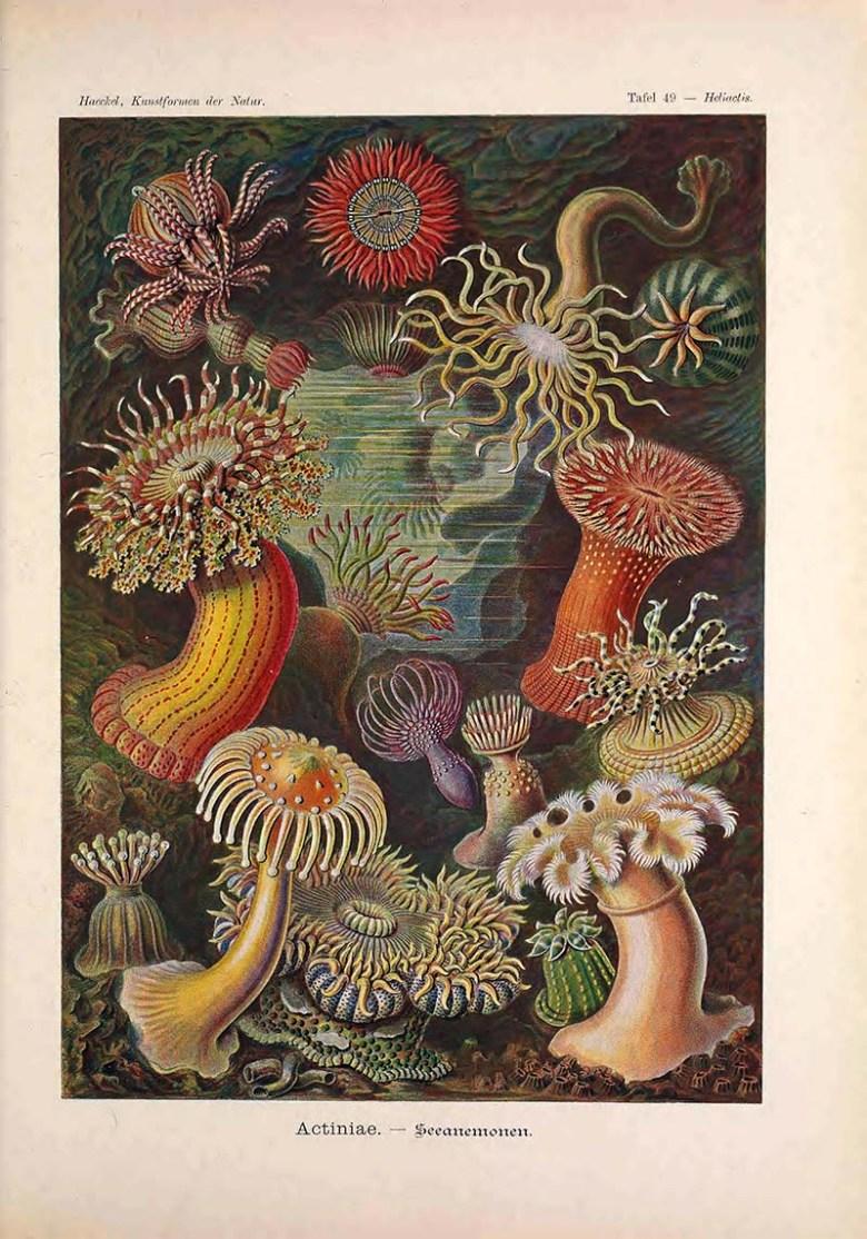 Sea Anemones Ernst Haeckel prints
