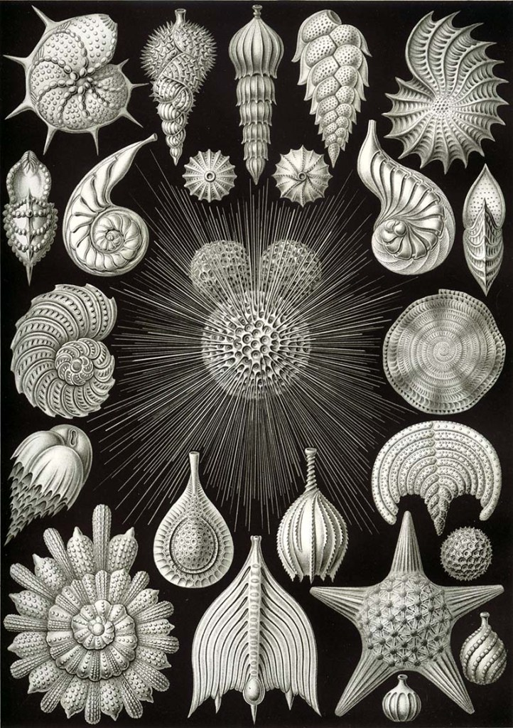 Thalamphora Ernst Haeckel