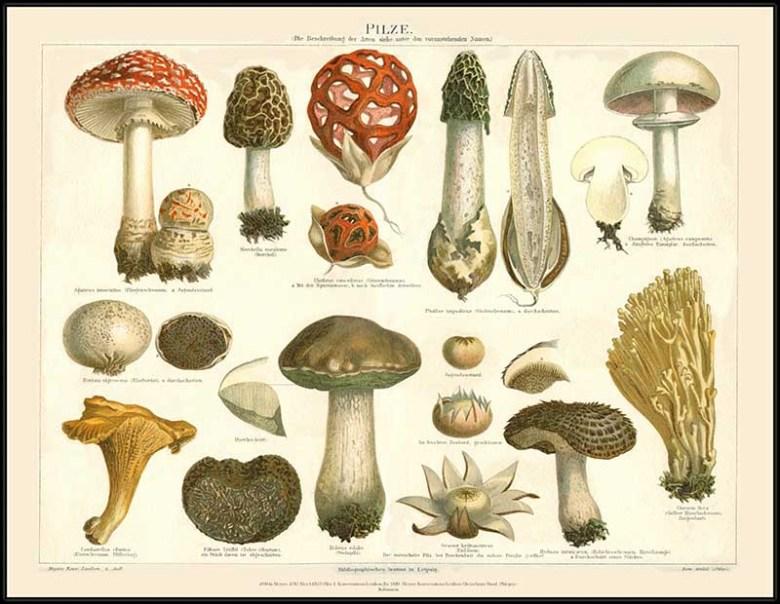 1889 mushroom drawings