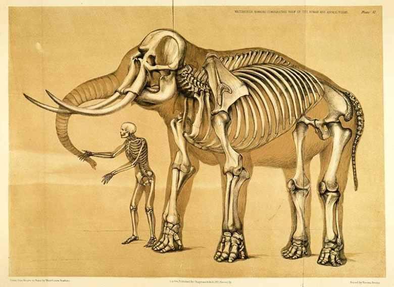 comparative human and elephant skeleton