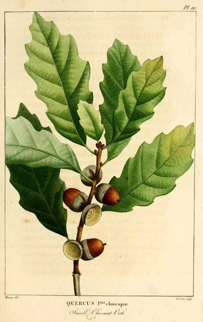 Dwarf Chestnut Oak illustrations