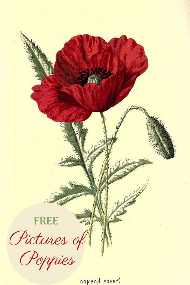 free pictures of poppies to download