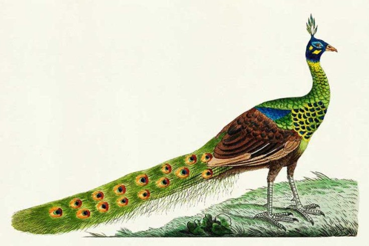 Free Colourful Bird Naturalist Prints of George Shaw