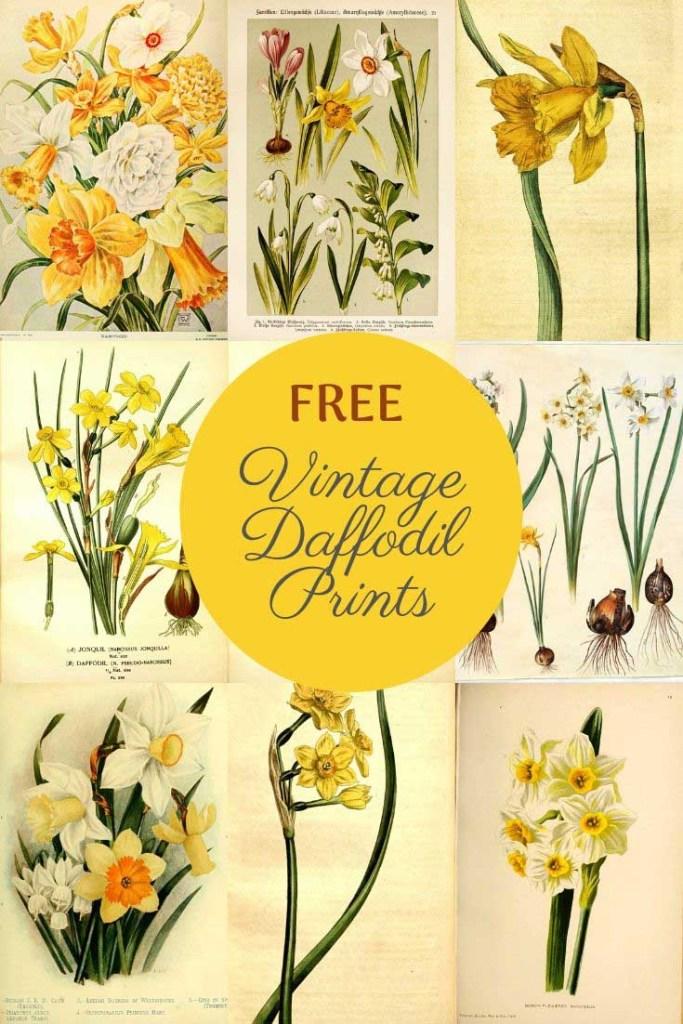 vintage daffodil flower drawings