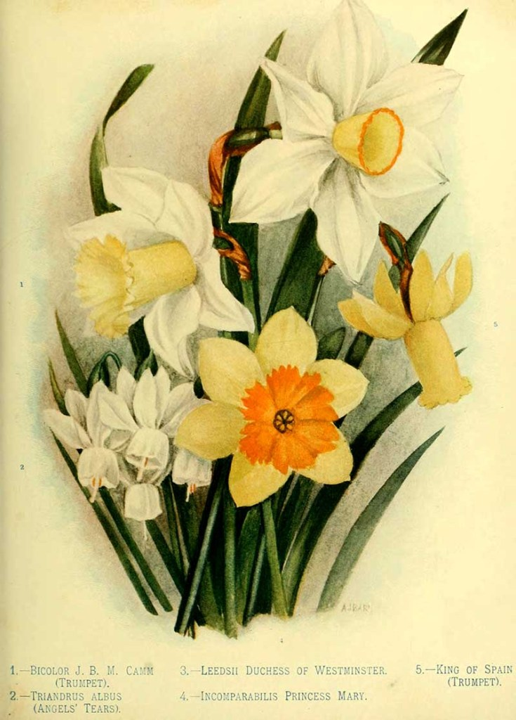 5 varieties of daffodils