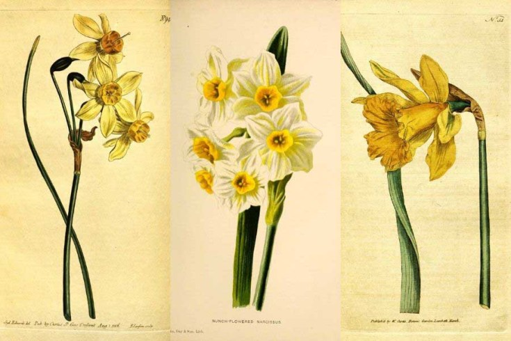 Free Vintage Daffodil Flower Drawings To Download