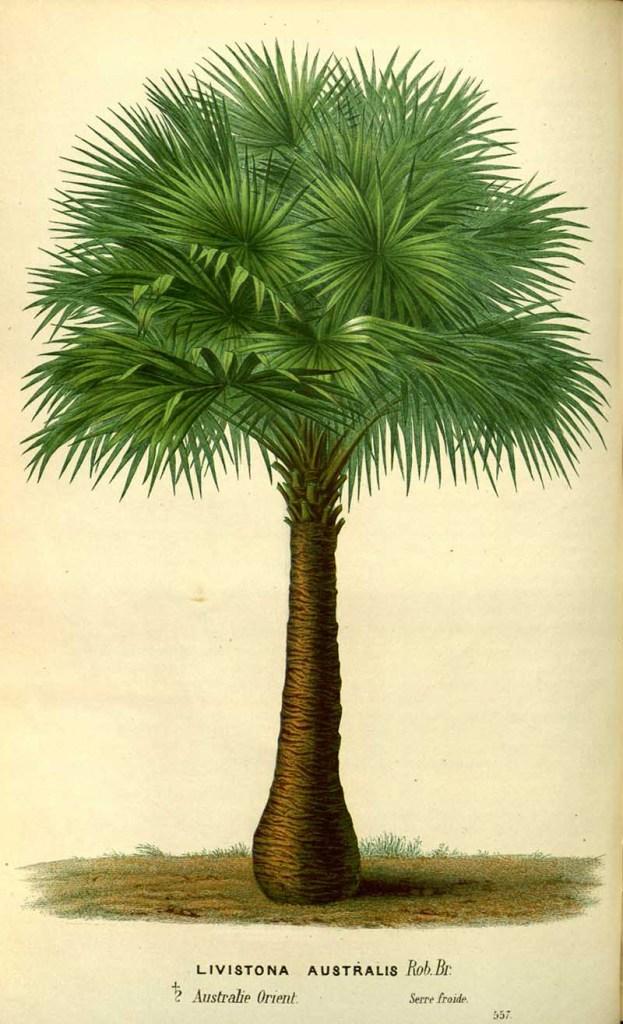 Australian cabbage-tree palm