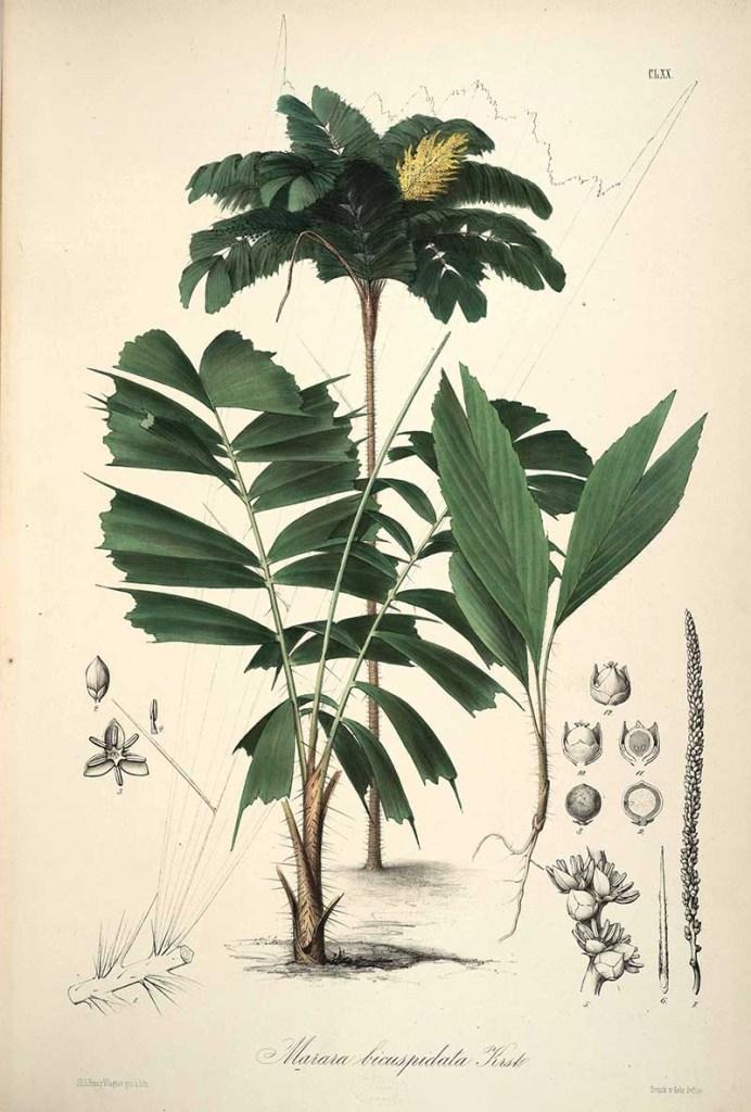 Botanical palm tree illustrations