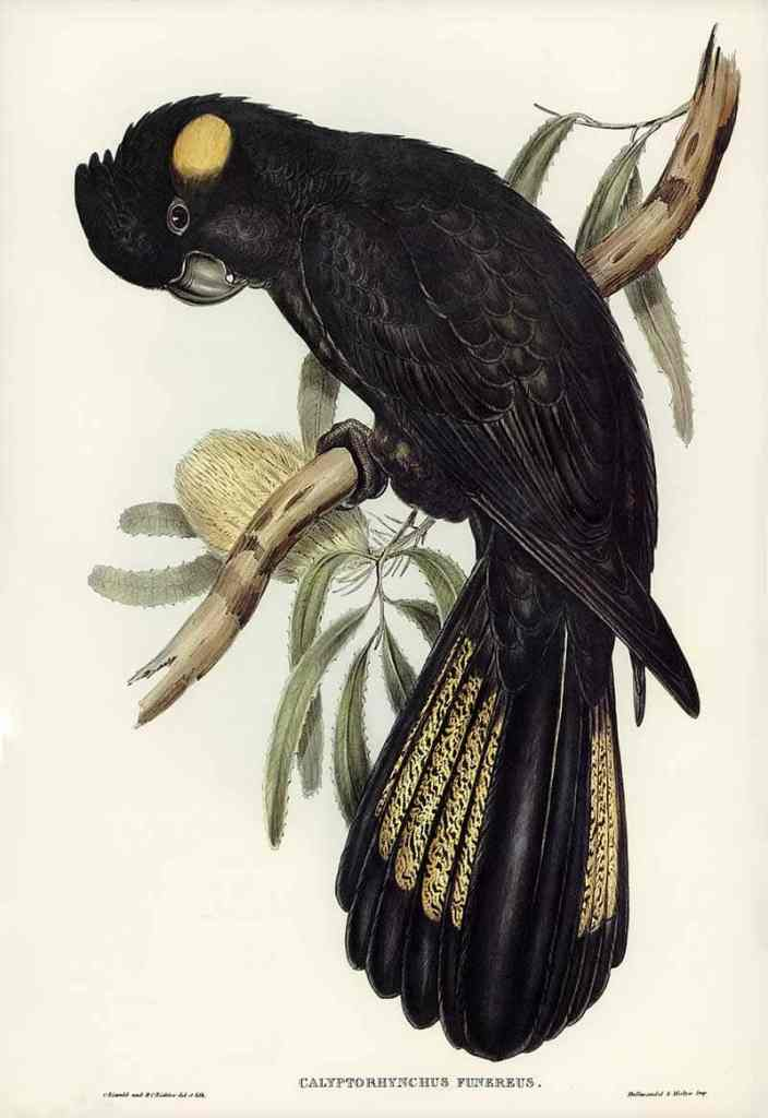 Yellow Tailed black cockatoo print