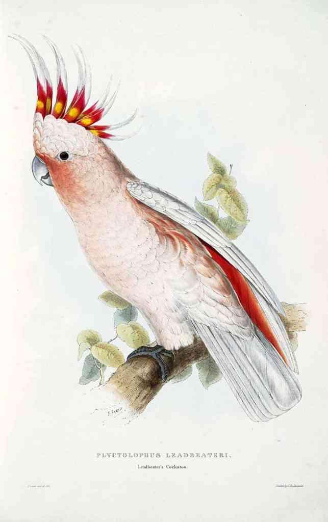 Leadbetters cockatoo