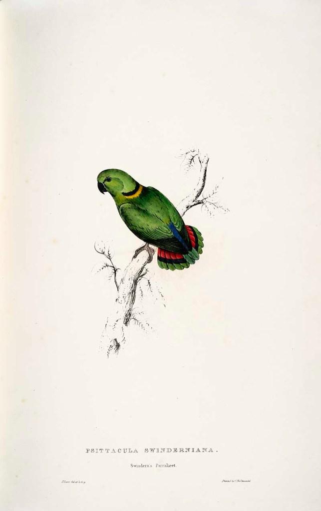 Black-collard love bird