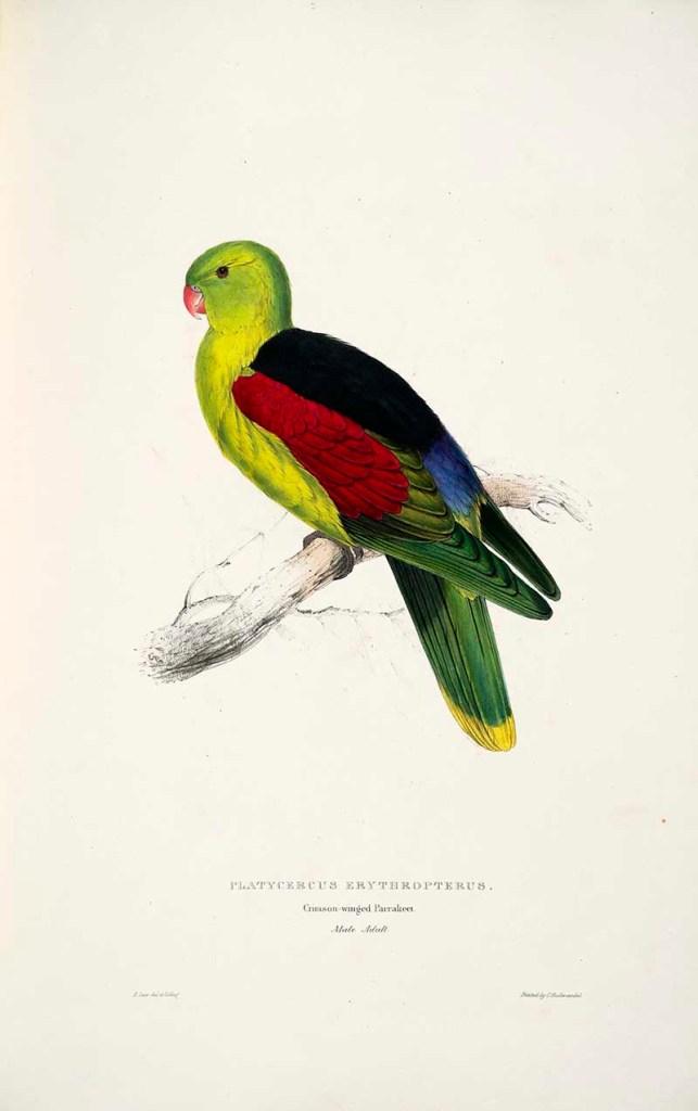 Red winged parakeet