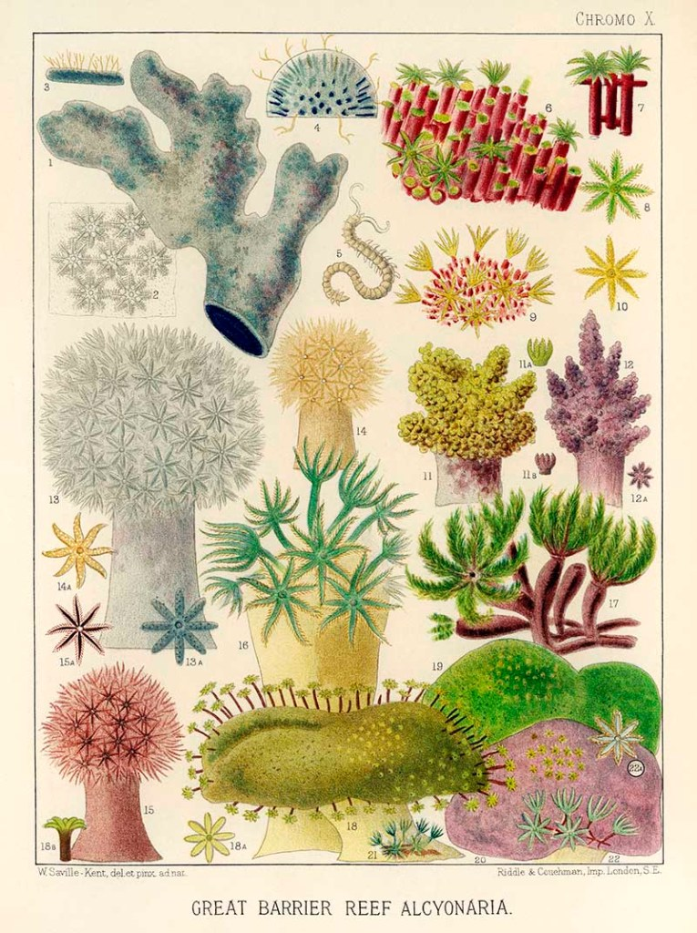 Great Barrier Alcyonaria Illustrations