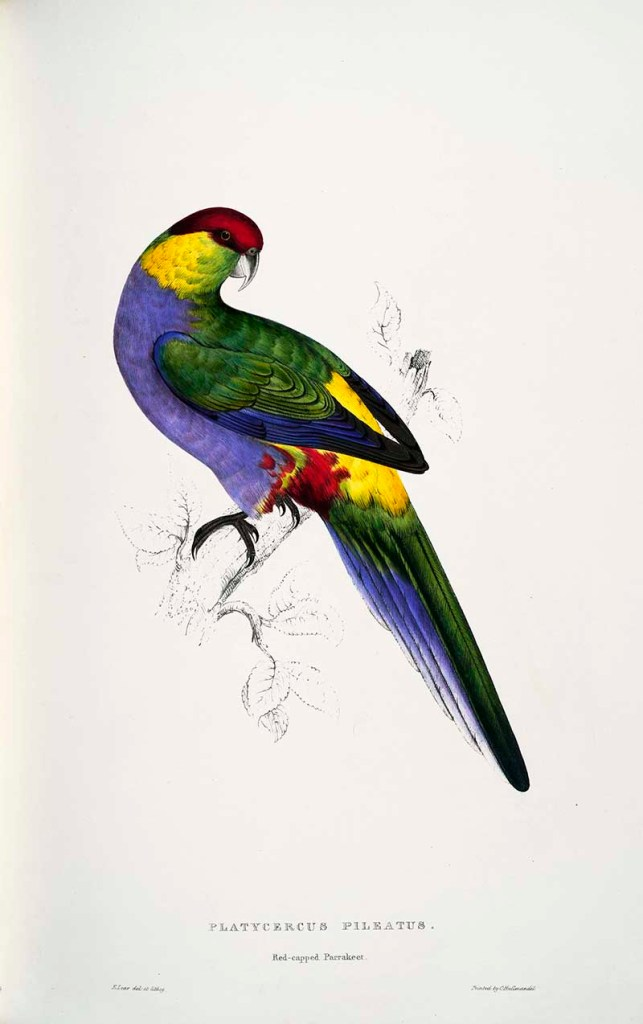 Edward Lear Parrot = red capped parrot