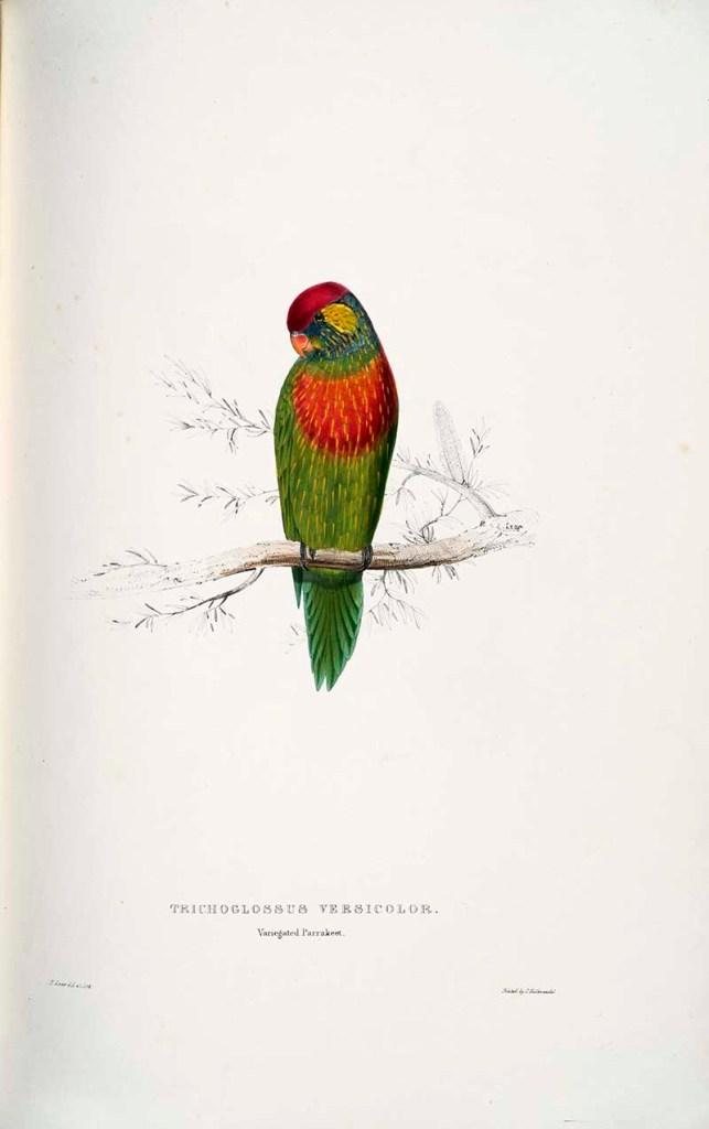 Variegated Parakeet
