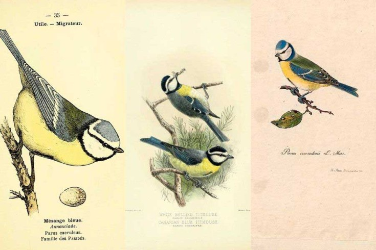 Free Wonderful Vintage Blue Tit Drawings For Spring