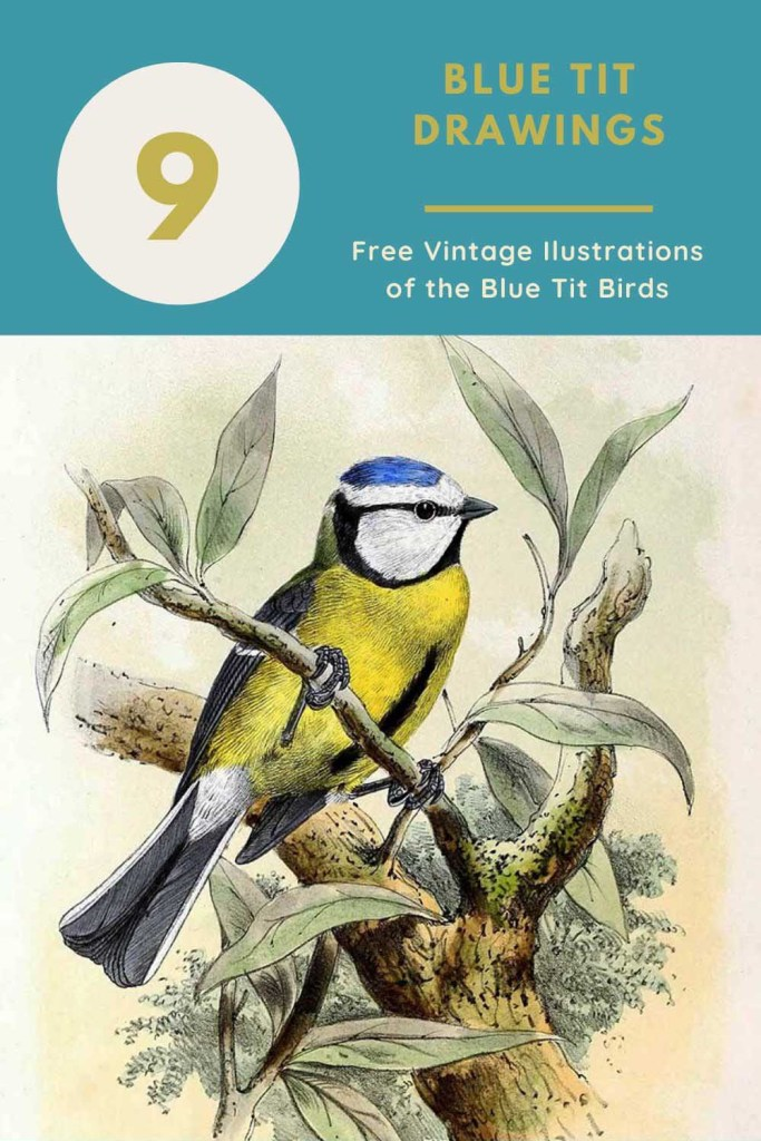 Free blue tit drawings