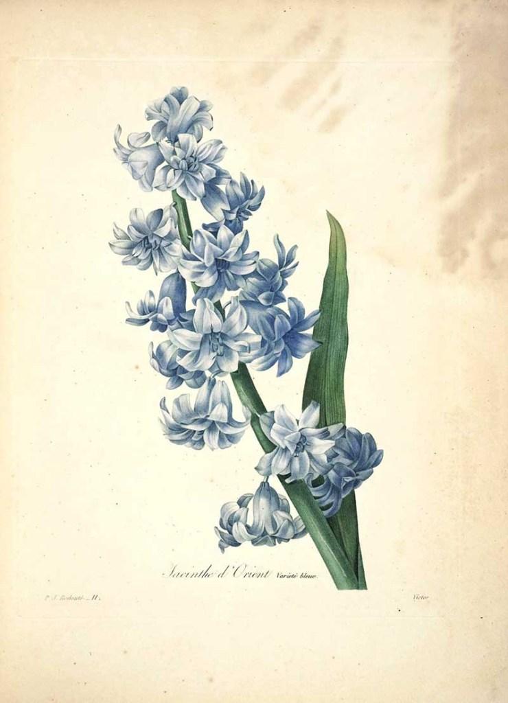 Hyacinthus orientalis Choix_des_plus_belles_fleurs s