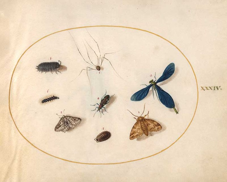plate 34 Assorted insects including earwig