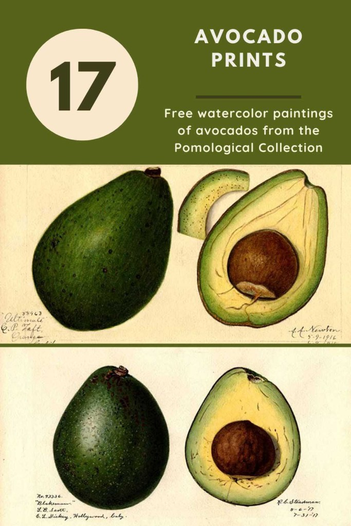 Avocado drawings and watercolors