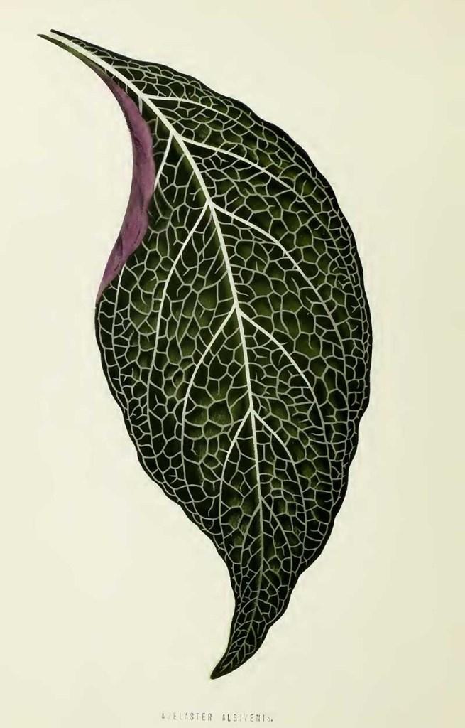 Adelaster Albivenis leaf