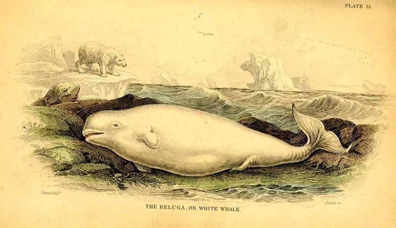 Beluga whale illustration