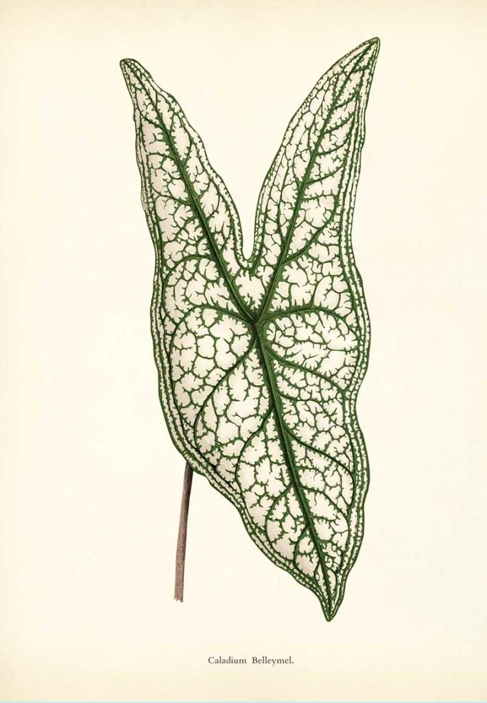 Heart of Jesus caladium