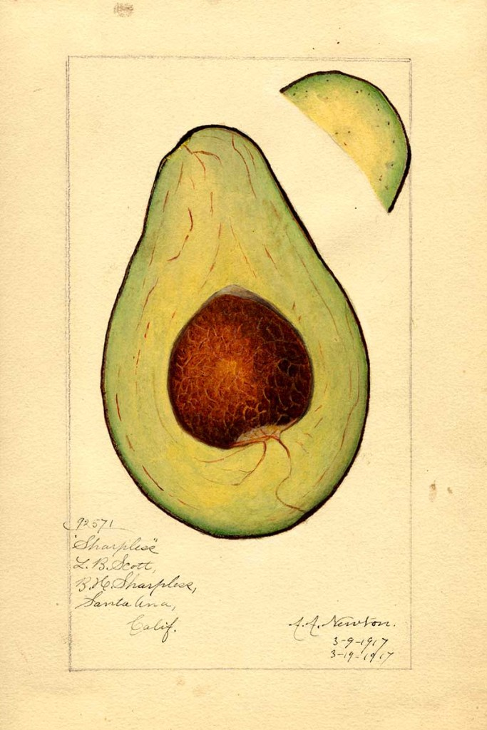 Sharpless Avocado cross-section