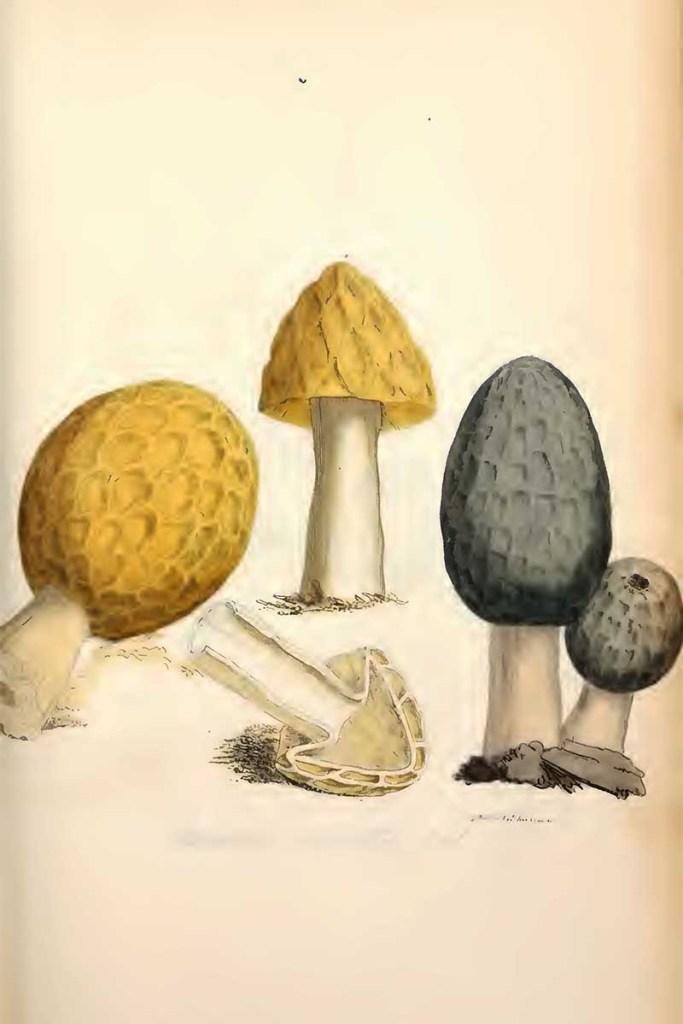 Morchella esculenta mushroom drawings