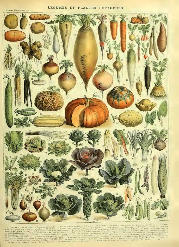 Vintage vegetable print Adolphe Millot