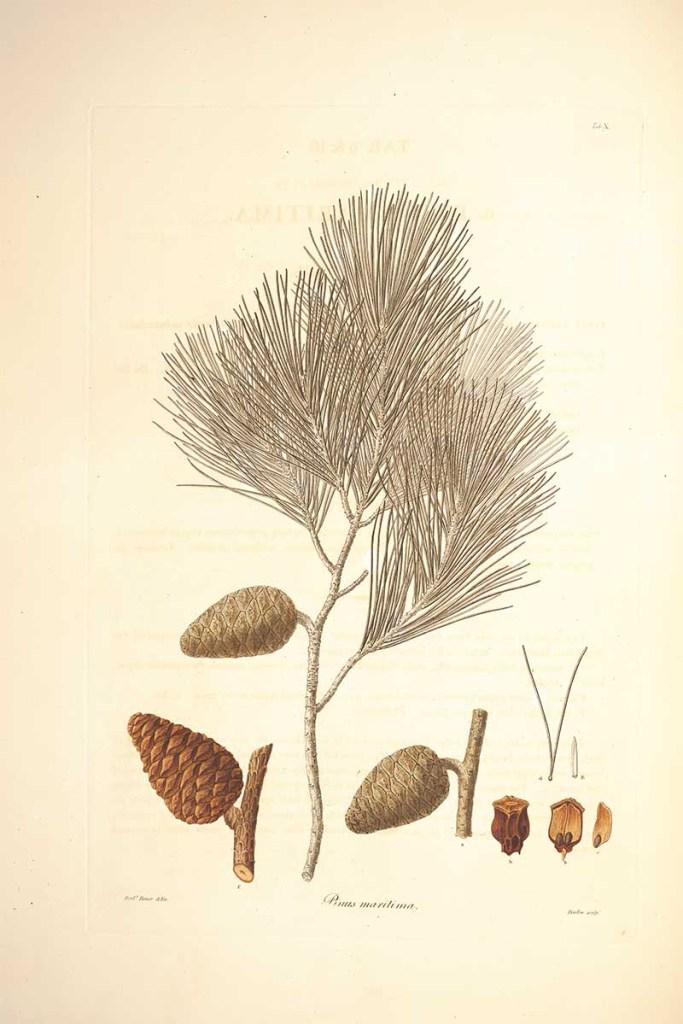 maritime pine cone drawings