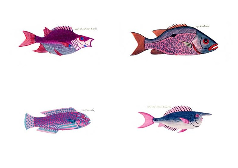 violet rainbow fish display pictures