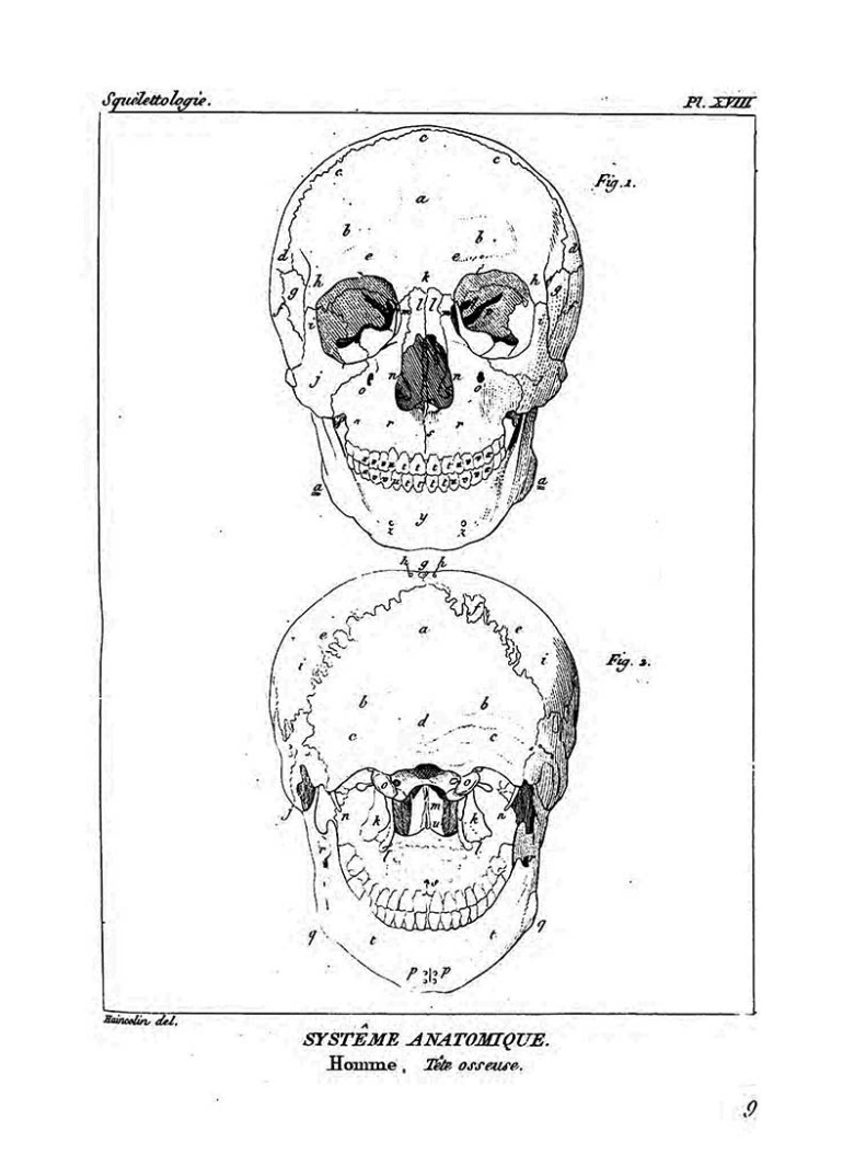 Front and back Anatomical Skull