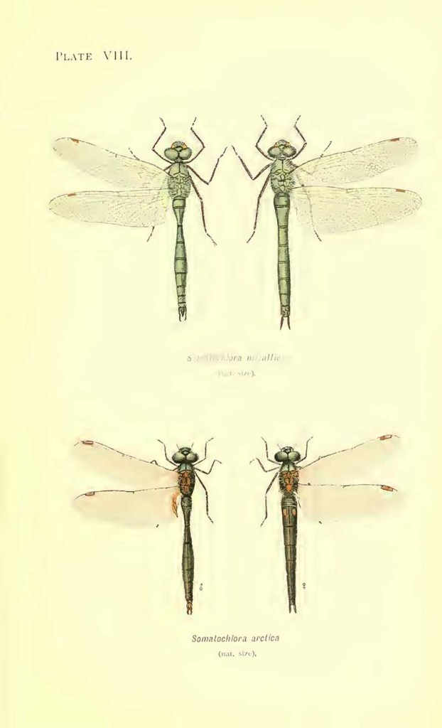 Striped emerald dragonflies