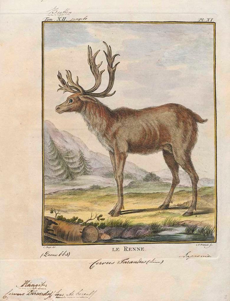 Le Renne Reindeer drawings
